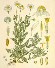 camomille romaine fleur sauvage type marguerite