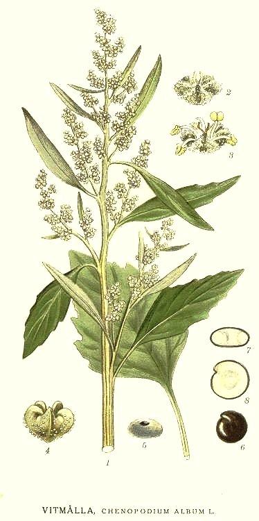 chénopode blanc fleur sauvage verte