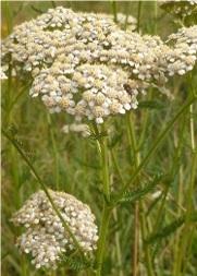 achillée millefeuille fleur sauvage blanche