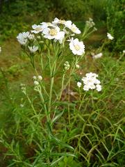 achillée ptarmique  fleur sauvage blanche