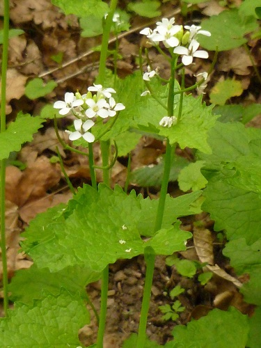 alliaire officinale fleur sauvage blanche