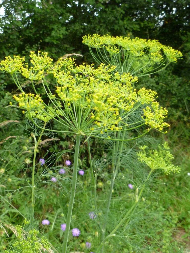 Aneth odorant fleurs sauvages jaunes
