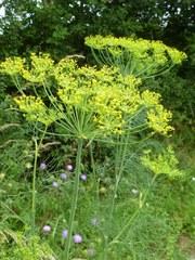 aneth odorant fleur sauvage jaune