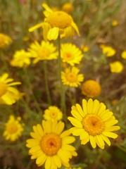anthémis des teinturiers fleur sauvage jaune
