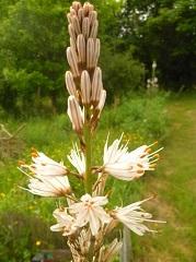 asphodèle blanc fleur sauvage blanche