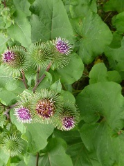 Bardane majeure fleurs sauvages pourpres