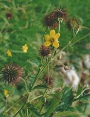 benoite commune fleur sauvage jaune