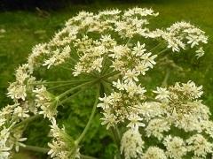 berce spondyle fleur sauvage blanche
