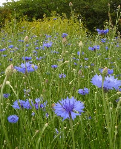 bleuet des champs fleur sauvage bleue