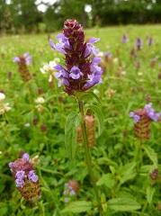 brunelle commune fleur sauvage violette