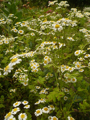 Camomille majeure fleurs sauvages type marguerite