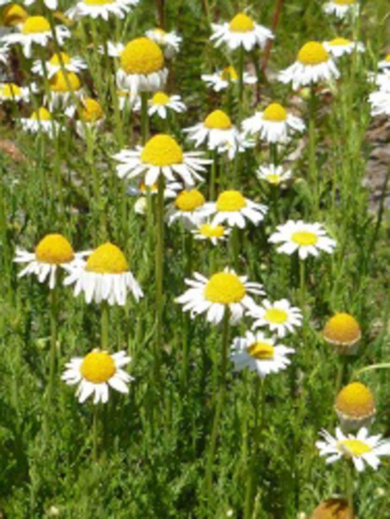 fleurs de Camomille romaine