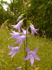 campanule raiponce fleur sauvage mauve