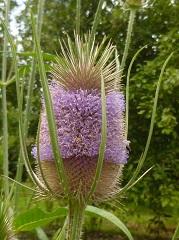 cardère sauvage fleur sauvage mauve