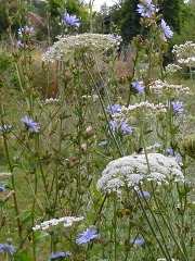 carotte sauvage fleur sauvage blanche