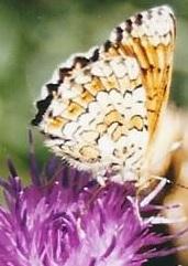 centaurée noire et papillon