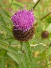 centaurée noire fleur sauvage pourpre
