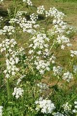 cerfeuil sauvage fleur sauvage blanche