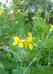 Chélidoine majeure fleur sauvage jaune