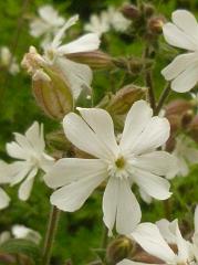 Compagnon blanc fleurs sauvages blanches