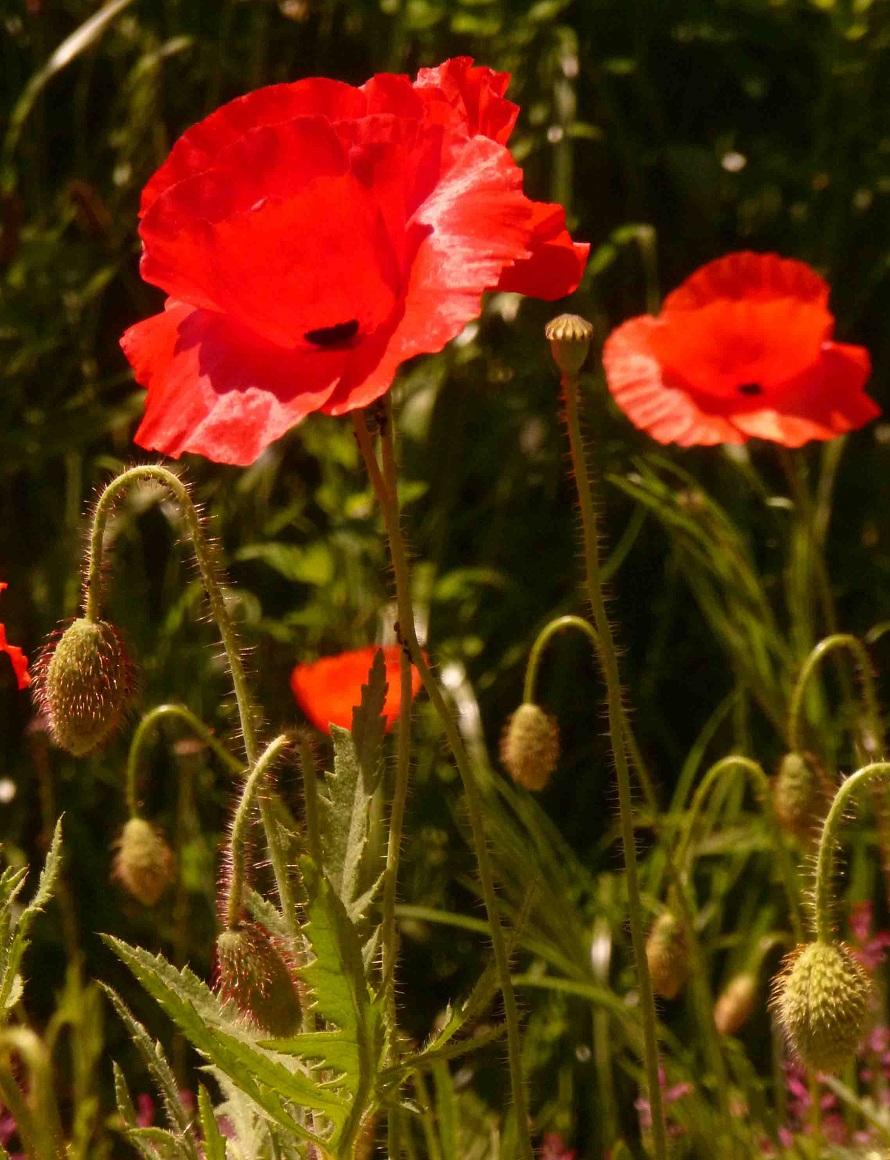 coquelicot fleur sauvage rouge