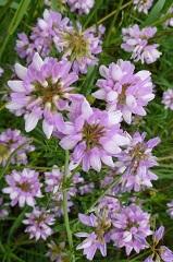 coronille variée fleur sauvage mauve