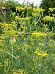 Fenouil sauvage fleurs sauvages jaunes