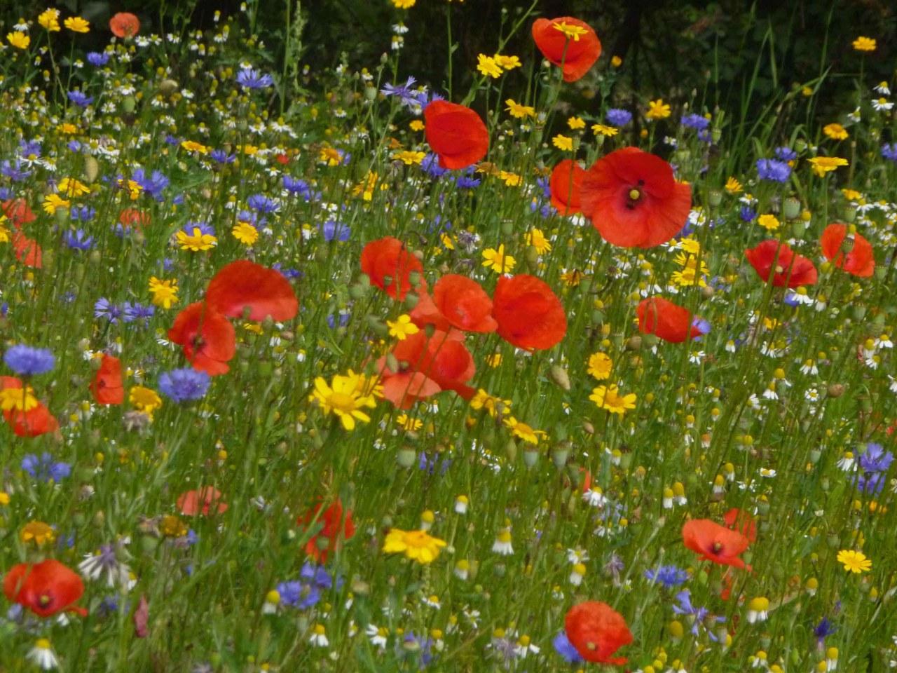 Fleurs des champs 50 gr jardin de sauveterre fleurs des champs 50 gr thecheapjerseys Image collections
