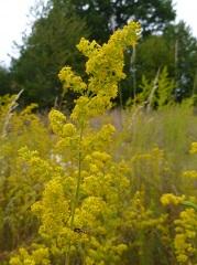 gaillet jaune fleur sauvage jaune
