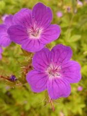 géranium des bois fleur sauvage pourpre