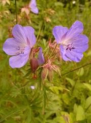 géranium des prés fleur sauvage mauve