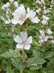 guimauve officinale fleur sauvage blanche