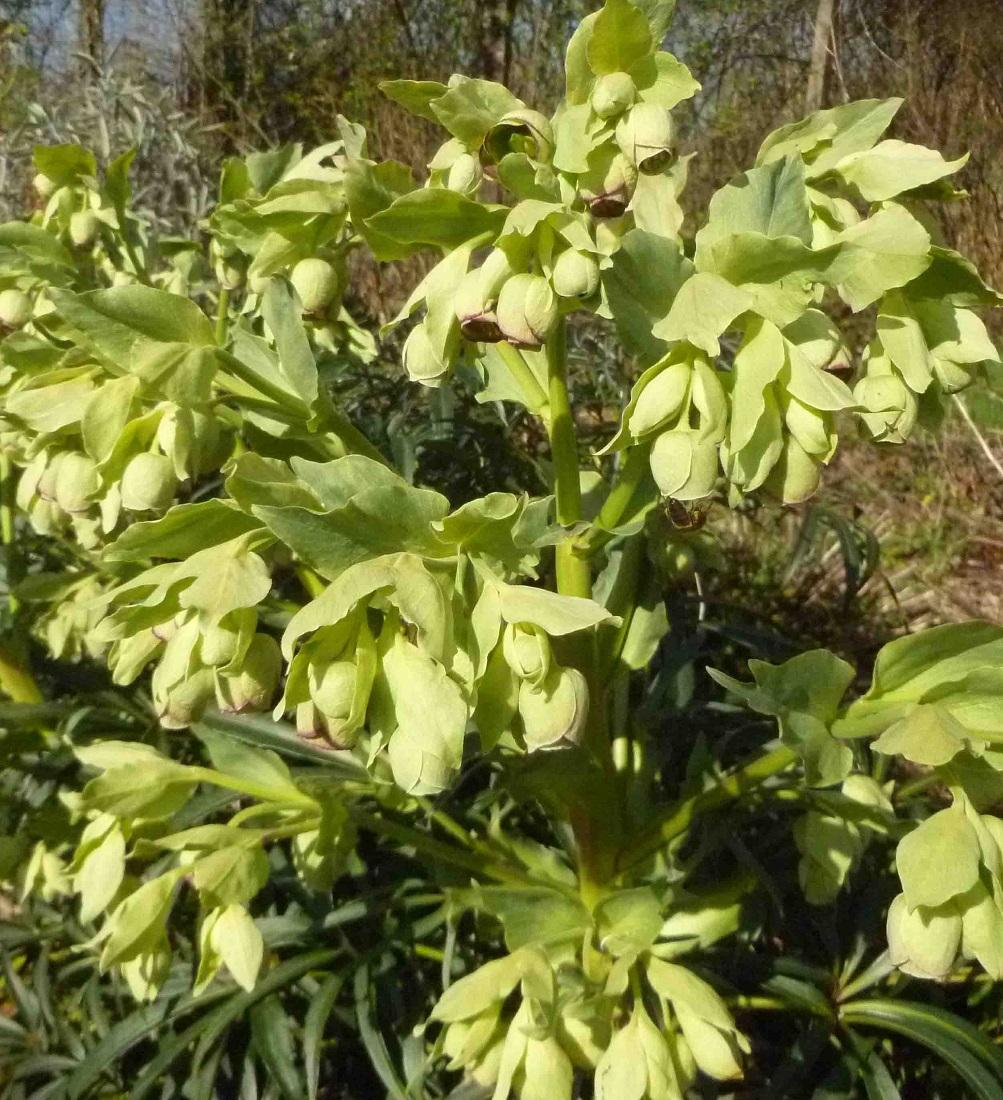 hellebore fétide fleur sauvage verte