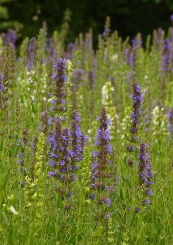 hysope officinale fleur sauvage violette