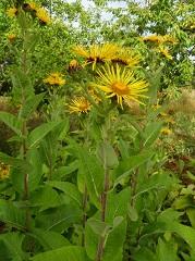 iinule aunée fleur sauvage jaune