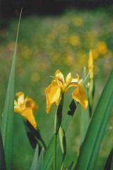iris jaune fleur sauvage jaune