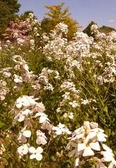 julienne des dames fleur sauvage blanche