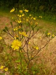 lapsane commune fleur sauvage jaune