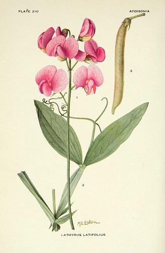 pois vivace fleur sauvage rose foncé