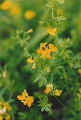 Lotier corniculé fleurs sauvages jaunes