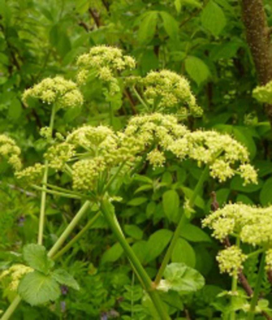 maceron cultivé fleur sauvage jaune