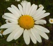 fleurs sauvages comme les marguerites