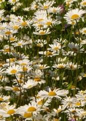 marguerite des prés fleur sauvage