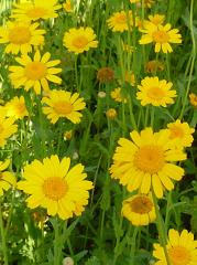 Marguerite dorée fleurs sauvages jaunes