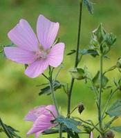 mauve musquée fleur sauvage rose foncé