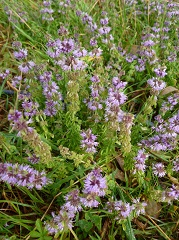 menthe pouliot fleur sauvage mauve