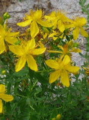 millepertuis fleur sauvage jaune