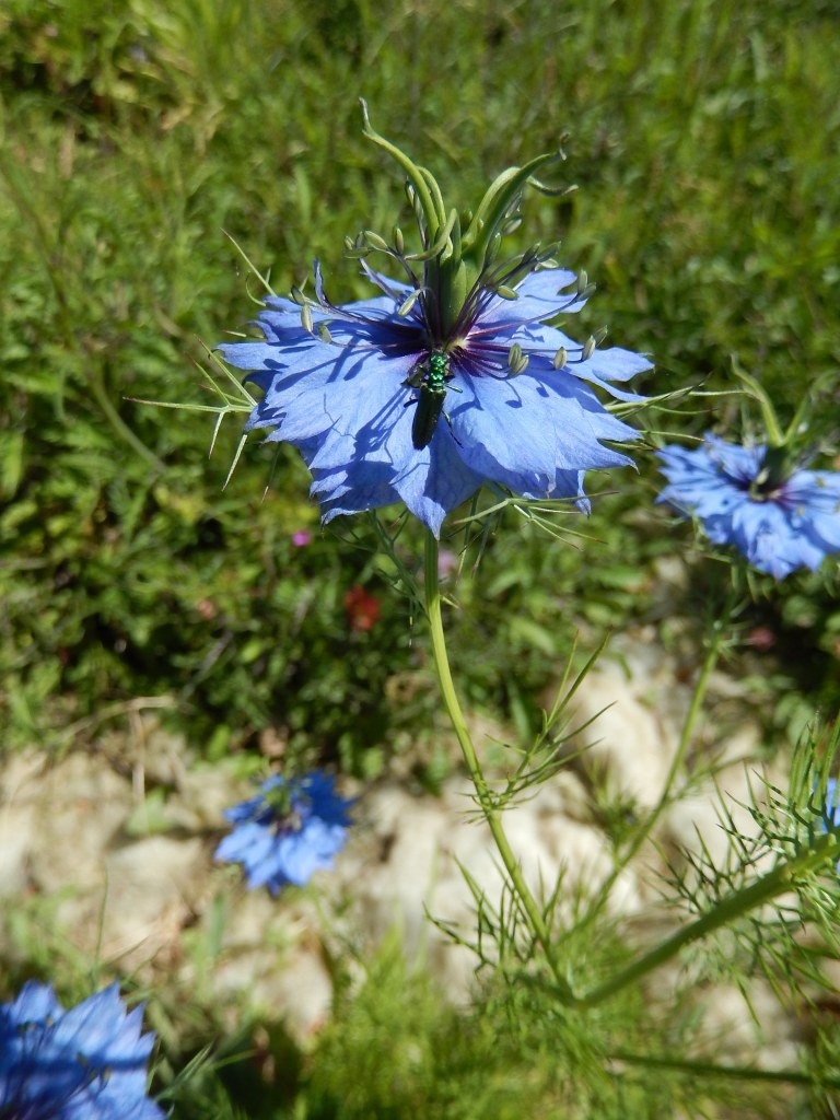 fleurs de nigelle de damas