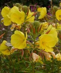 Onagre de lamarck fleurs sauvages jaunes