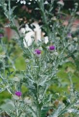 onopordon acanthe fleur sauvage pourpre